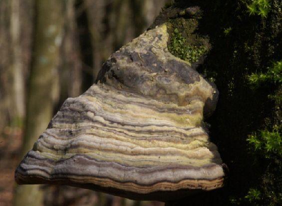Champignons de gaume - Champignon qui pousse sur les arbres ...